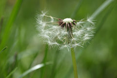 Dandelion seeds abstract background. Royalty Free Stock Images