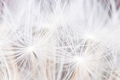 Dandelion seeds abstract background Royalty Free Stock Image