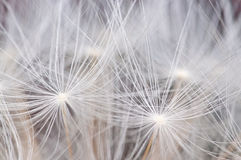 Dandelion seeds background Stock Image