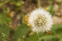 Dandelion and seeds Royalty Free Stock Photography