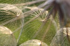 Dandelion Seeds in Backlit Royalty Free Stock Photo