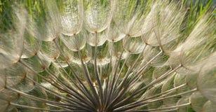 Dandelion Seeds in Backlit Stock Photo