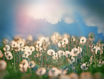 Dandelion seeds and beautiful sky with clouds Royalty Free Stock Photography