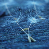 Dandelion seeds on a beautiful wooden background stock image