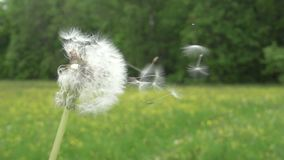 Dandelion seeds are being blown and flying away on a green background.  stock video