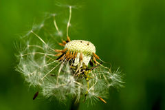 Dandelion seeds being blown in the wind Stock Photos