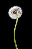 Dandelion. Seeds on black background Stock Photo