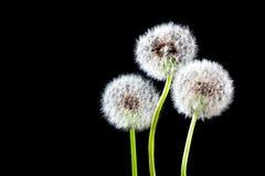 Dandelion. Seeds on black background Royalty Free Stock Photos