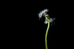 Dandelion. Seeds on black background Royalty Free Stock Image
