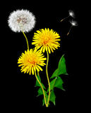 Dandelion seeds. Dandelion on a black background stock photography