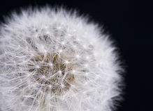 Dandelion with Seeds on Black Background Royalty Free Stock Photo