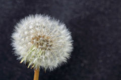 Dandelion with seeds on black background. Dandelion flower seed close-up on black background. Isolated Royalty Free Stock Photography