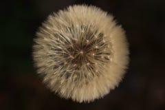 Dandelion seeds on a black background stock photo