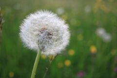 Dandelion Seeds Blowball Stock Photo