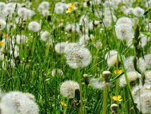 Dandelion Seeds Blowball Stock Photos