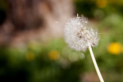 Dandelion seeds blowing. In the wind stock photos