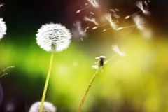 Dandelion seeds blowing away, concept of freedom, throw off the shackles, travel stock image