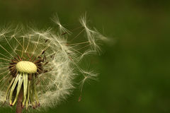 Dandelion seeds blowing away Royalty Free Stock Photography
