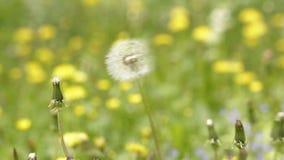 Dandelion seeds blowing away stock video footage