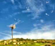 Dandelion with seeds blowing away in the wind stock photos