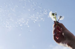 Dandelion with seeds blowing away in the wind. On blue sky Royalty Free Stock Image