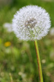 Dandelion with seeds blowing away in the wind Stock Image