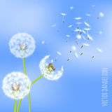 Dandelion seeds blowing away on the wind. Vector illustration of dandelion seeds blowing away on the wind in the clear blue sky over green spring meadow. Make a Royalty Free Stock Photography