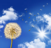 Dandelion seeds blowing in the wind. Against blue sky royalty free stock images