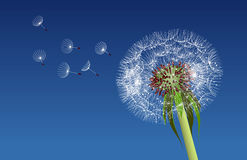 Dandelion seeds blown in the blue sky. Stock Photo