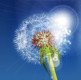 Dandelion seeds blown in the blue sky. Stock Photos
