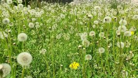 Dandelion seeds blown in the wind. Green Grass in Spring Park. Dolly Shot. Green field background summer day. Yellow dandelion white blowballs grass meadow stock footage