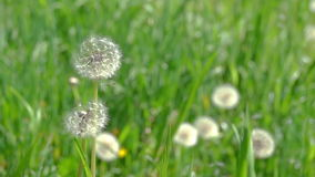 Dandelion Seeds Blown in the Wind. Green Grass in Spring Park. Slow Motion stock footage