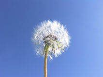 Dandelion seeds blue sky background -- Wishes Royalty Free Stock Photos
