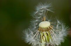 Dandelion seeds Royalty Free Stock Image