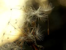 Dandelion. Seeds of butter and sunlight Stock Photo