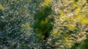 Dandelion seeds captured on spider web stock video