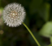 Dandelion with Seeds Close-up Stock Photo