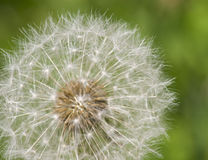 Dandelion with Seeds Close-up Stock Photos
