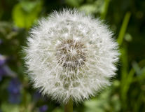 Dandelion with Seeds Close-up Royalty Free Stock Photo