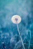 Dandelion seeds Stock Photography