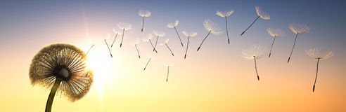 Dandelion with  seeds in the evening sun stock image