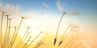 Some Dandelion seeds flying in the evening sun royalty free stock photography