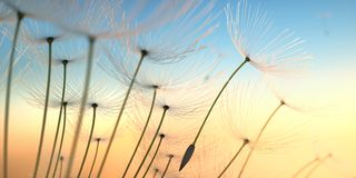 Dandelion seeds in the evening sun royalty free stock photos
