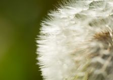 Dandelion seeds in close up Stock Images