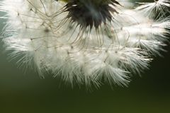 Dandelion seeds in close up Stock Image
