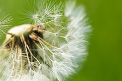 Dandelion seeds in close up Stock Photography