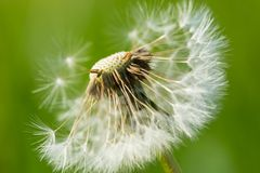 Dandelion seeds in close up Stock Photos