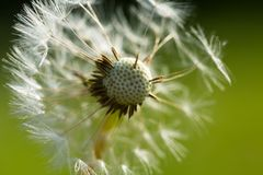 Dandelion seeds in close up Stock Photo