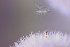 Dandelion seeds close up Stock Photography