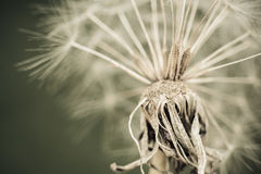 Dandelion with seeds close up shot sepia vintage. Dandelion with seeds close up shot sepia vintage color Royalty Free Stock Photos